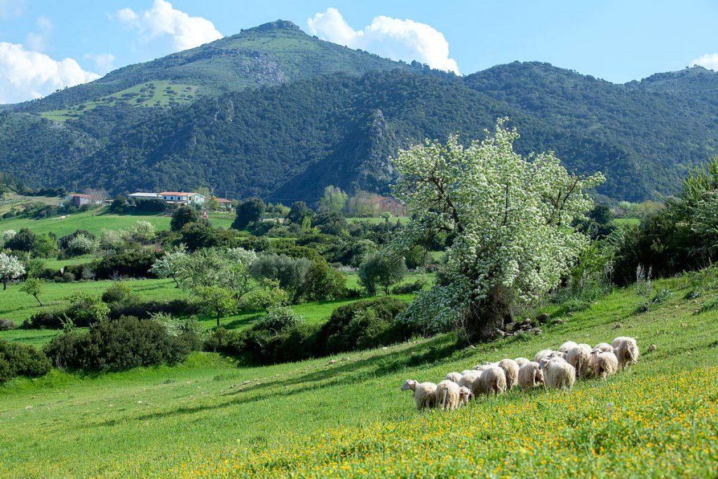 pecore-OP-Nurri